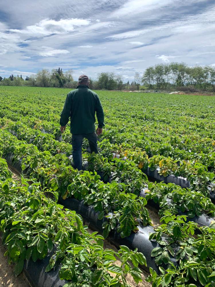 Culture des plants de pommes de terre